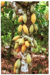 Cocoa-Pods-on-the-Trunk